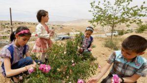 """© AFP / LOUAI BESHARA """"Collecte de roses de Damas à el-Mrah, près de la capitale syrienne, le 11 mai 2016"""""""